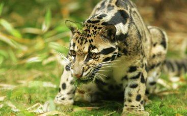 American_jaguar